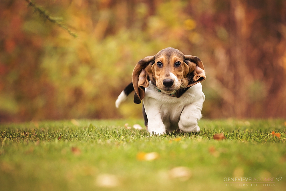 Photo chiot basset hound qui court