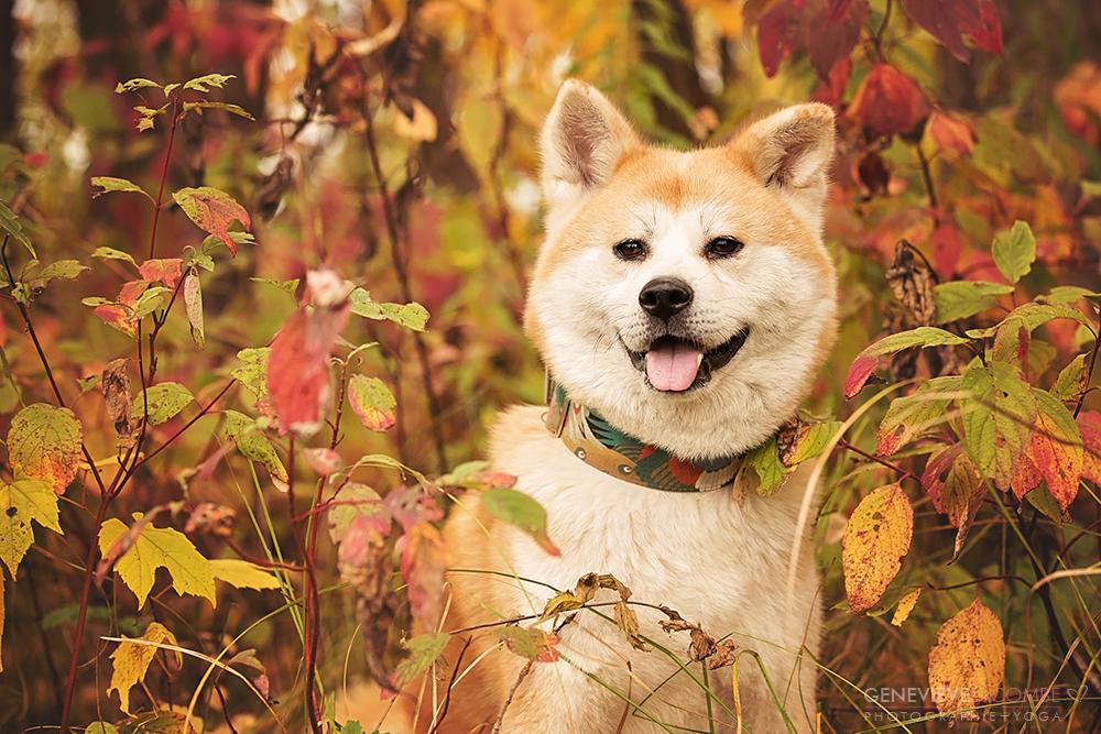 Photo chien akita inu à l'automne