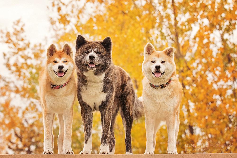 Photo famille chiens akita inu