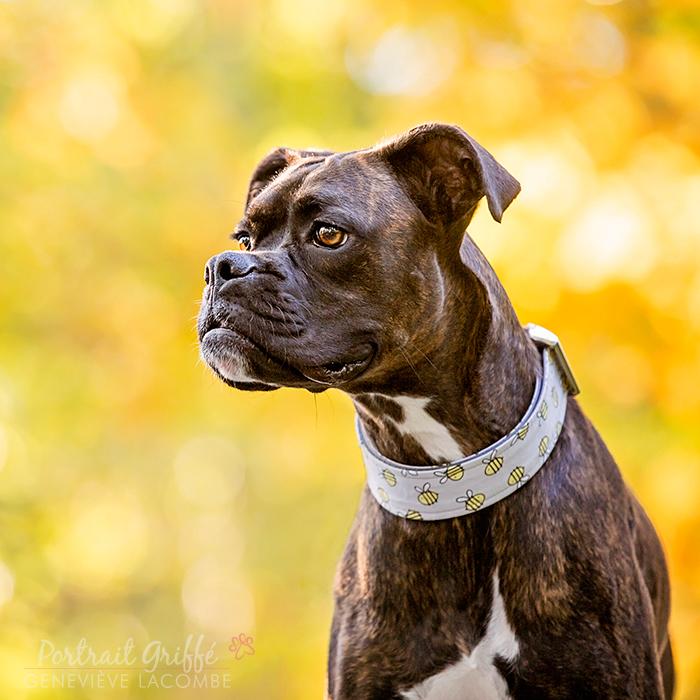 Photo chien boxer bringé