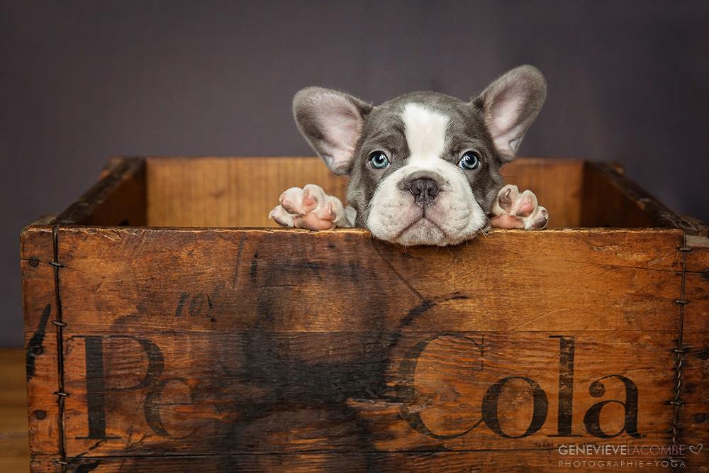 Chiot bulldog français
