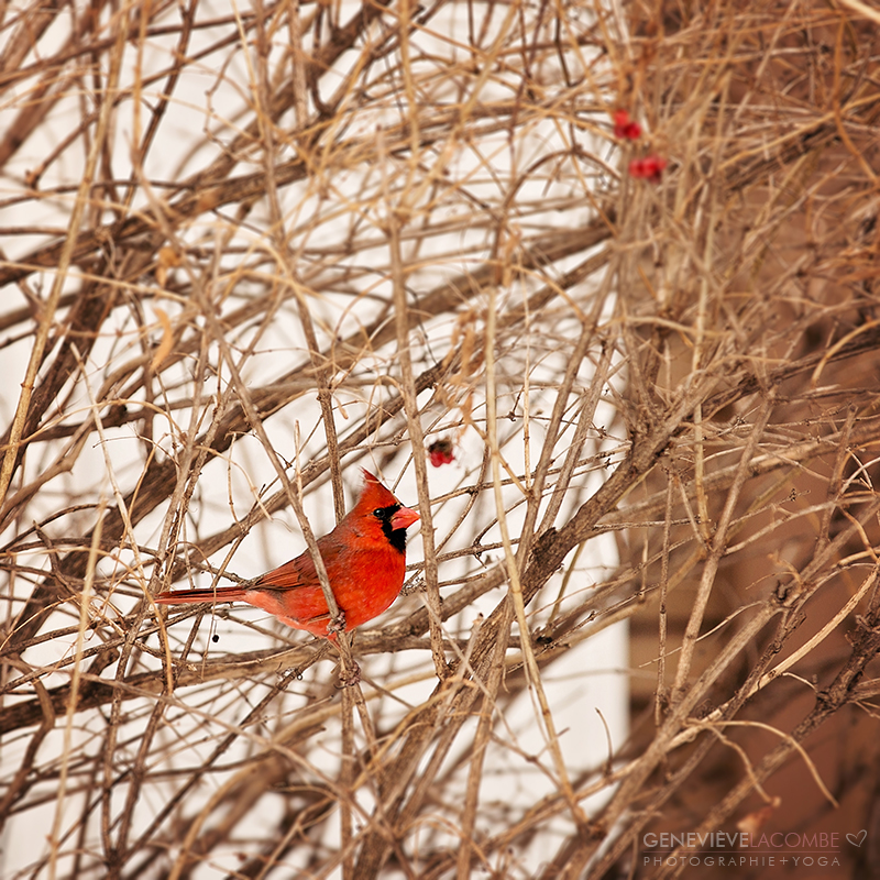 Oiseau cardinal en hiver.