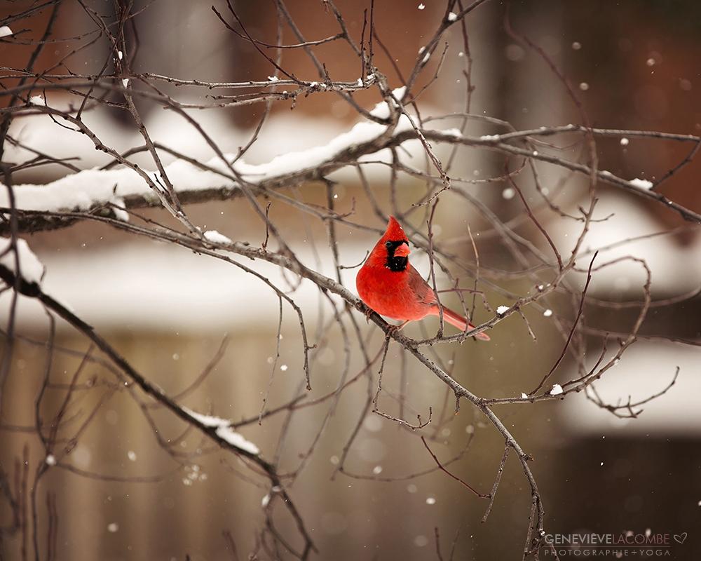Cardinal sous les flocons de neige