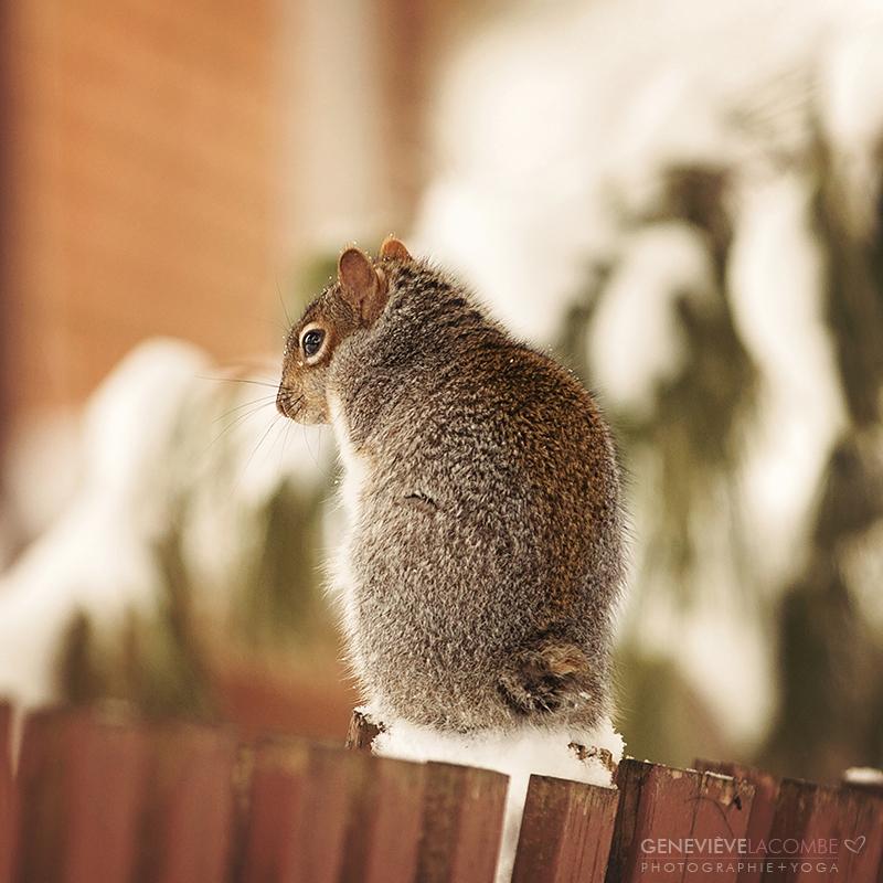Écureuil handicapé, sans queue