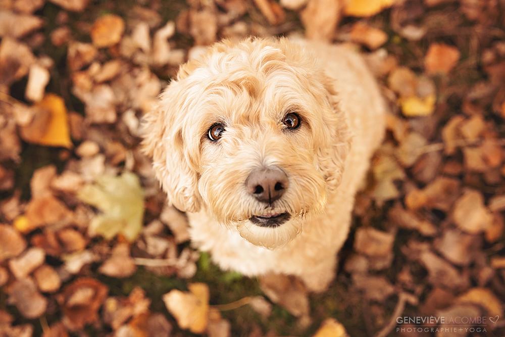 Portrait chien goldendoodle à l'automne