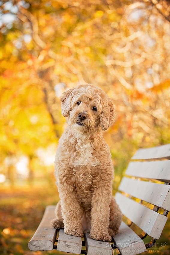 Chien goldendoodle sur un banc à l'automne