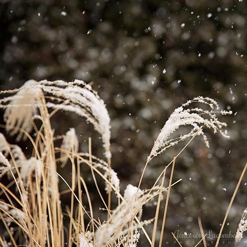 Graminées sous la neige
