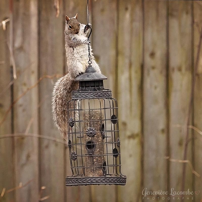 Écureuil sur mangeoire à oiseaux