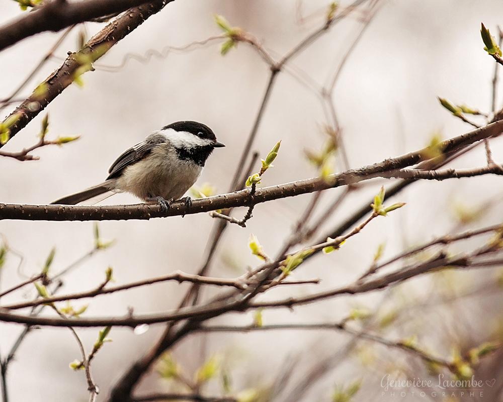 Oiseau mésange sur une branche