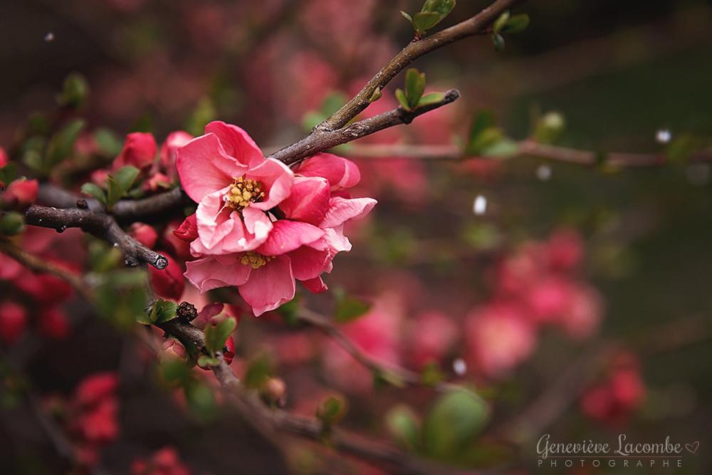 Fleurs de cognassier du Japon et flocons neige