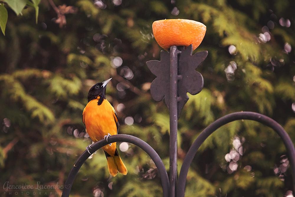 Oiseau mâle oriole de Baltimore