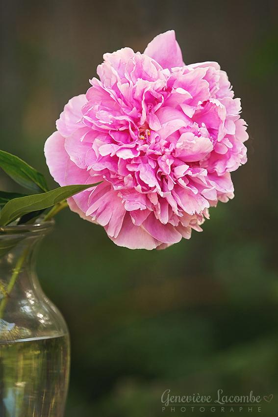 Fleur pivoine rose