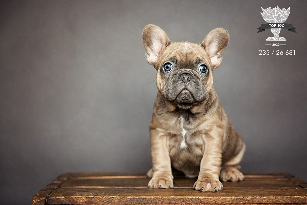 Chiot frenchie puppy