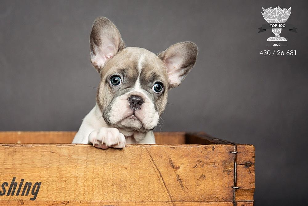 Bébé french bulldog
