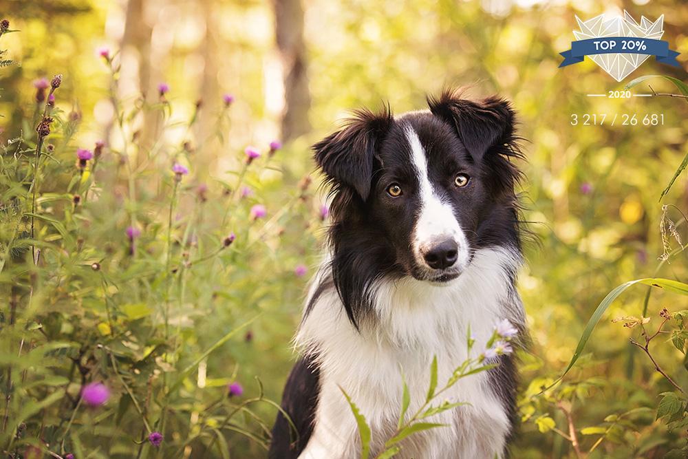 Jeune chien border collie