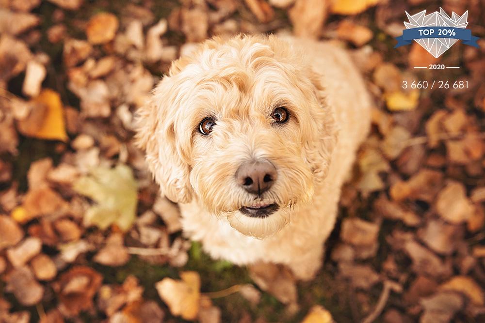 Chien goldendoodle à l'automne