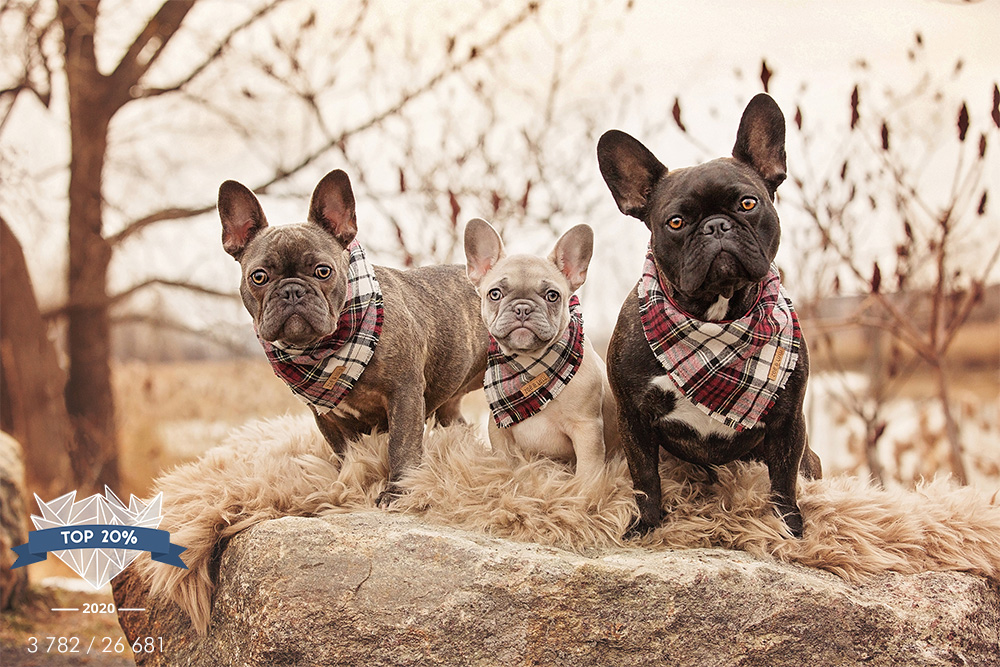 Chiens french bulldogs