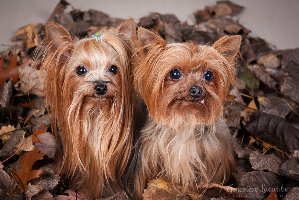 Deux chiens yorkshire à l'automne