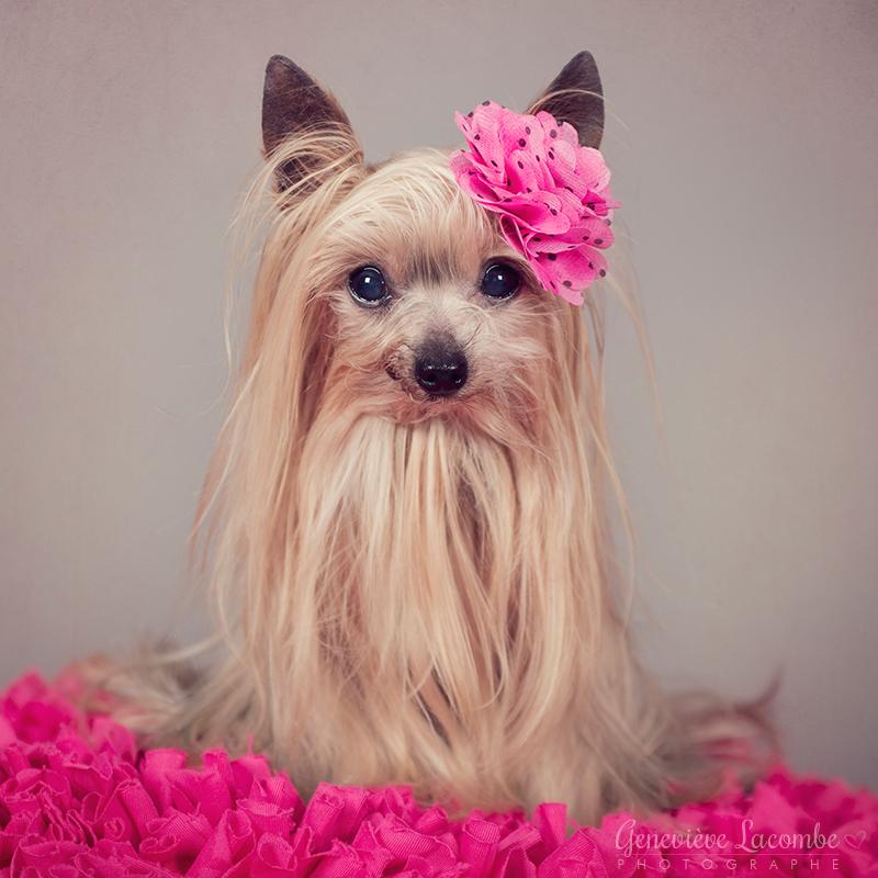 Portrait chien yorkshire femelle