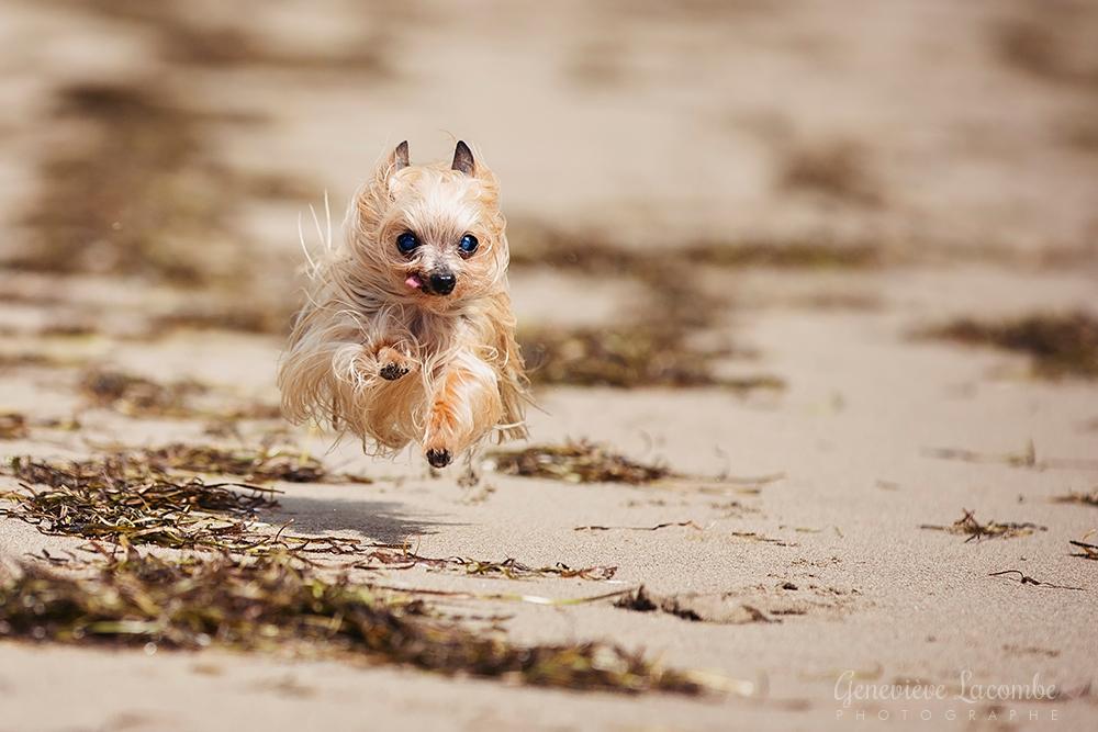 Petite yorkshire qui court à la plage