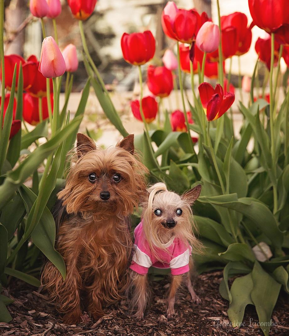 Chiens yorkshire dans les tulipes