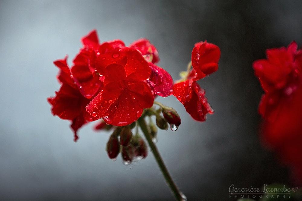 Fleurs Geranium sous la pluie