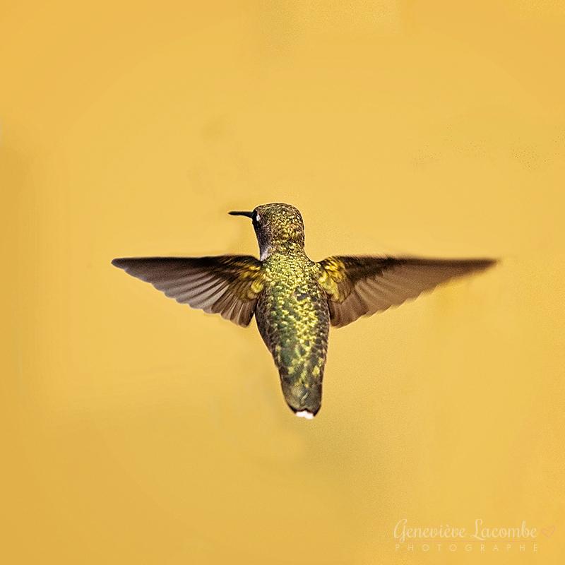 Femelle colibri à gorge rubis