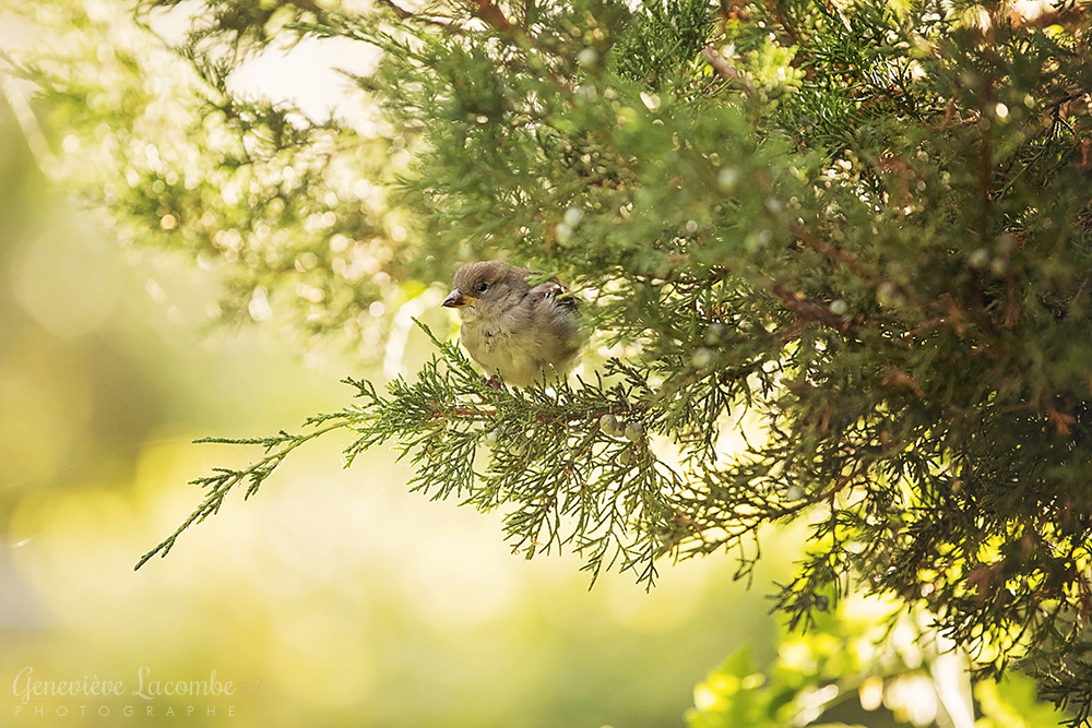Oiseau femelle moineau domestique