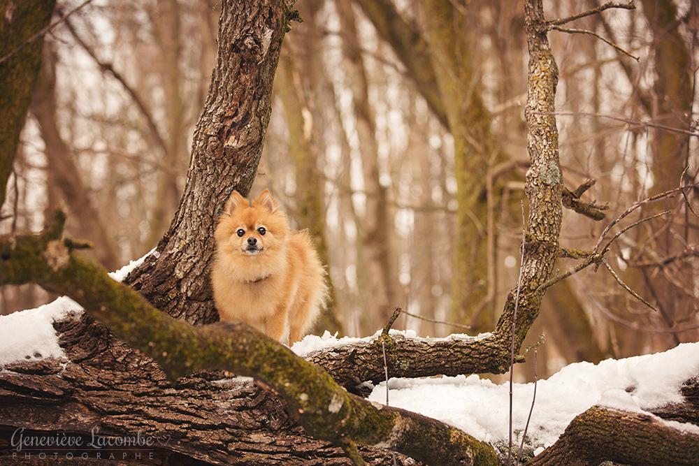 Photo chien poméranien en hiver