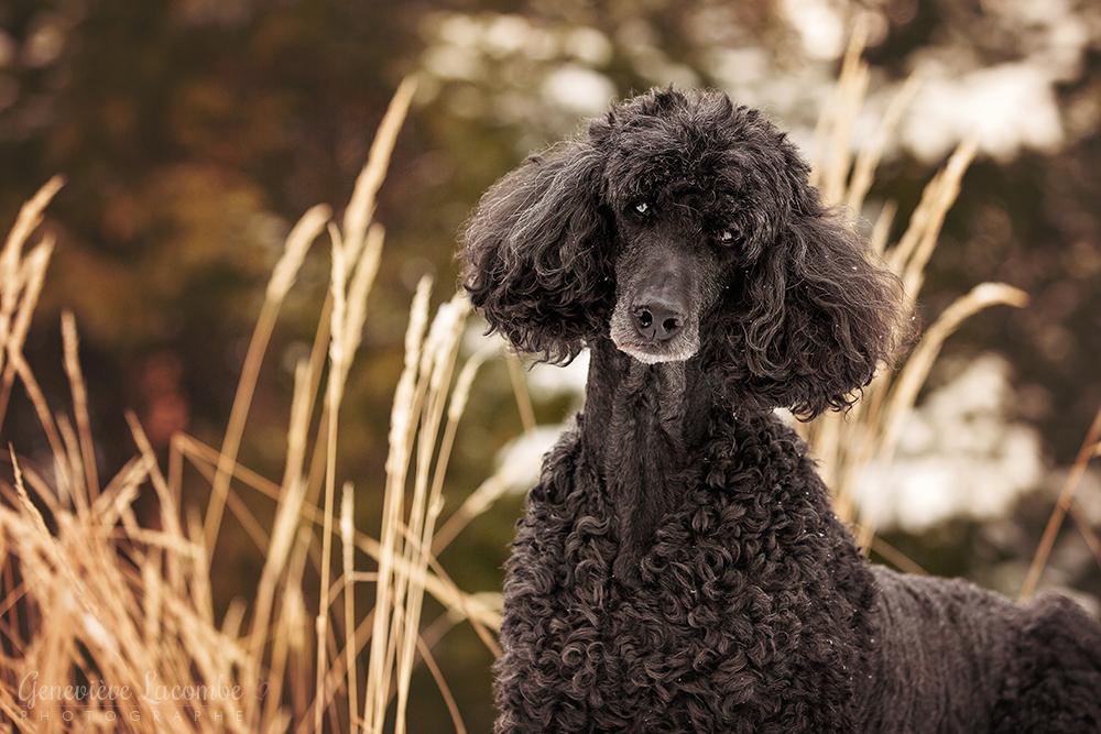 Portrait caniche noir âgé en hiver