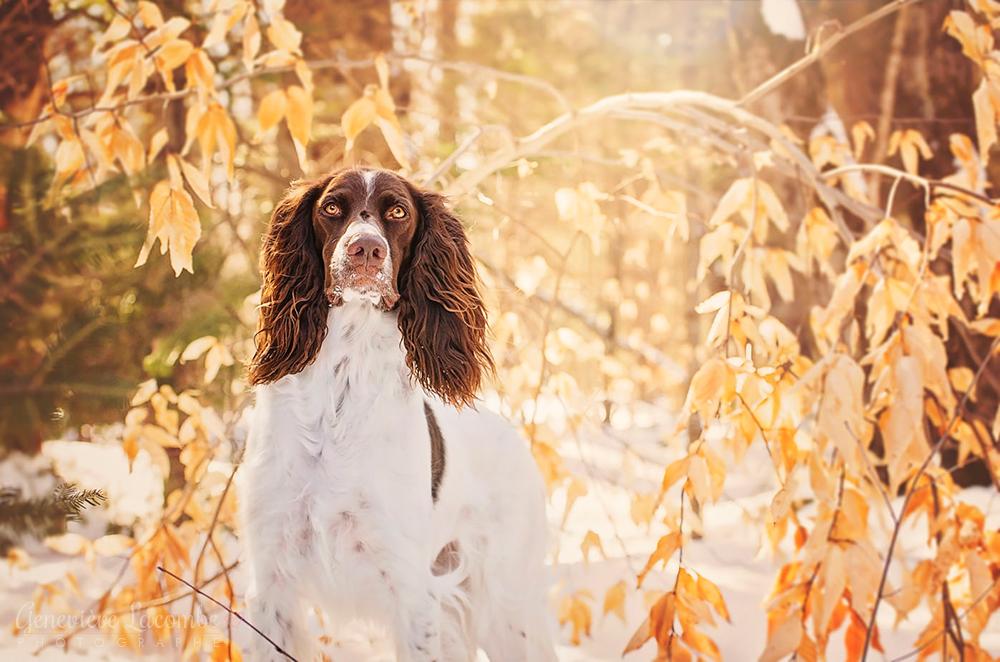Photo chien épagneul français en hiver
