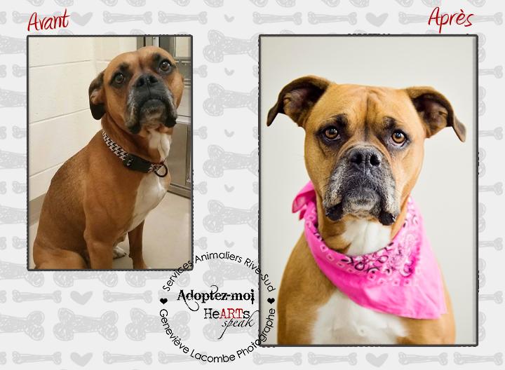 Portrait chien boxer à l'adoption