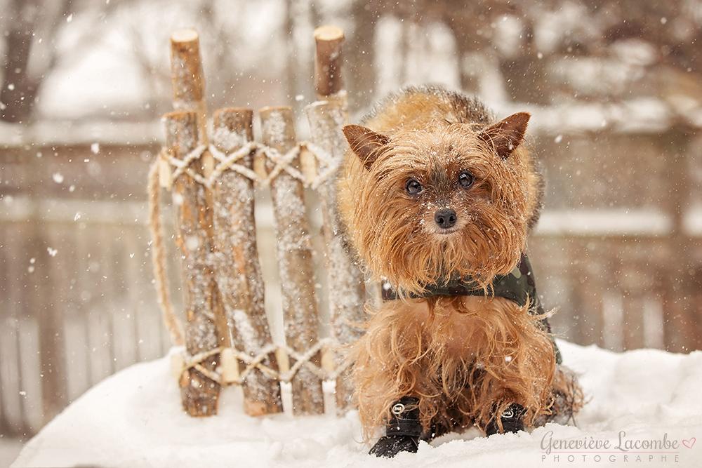 Yorkshire terrier jour de neige