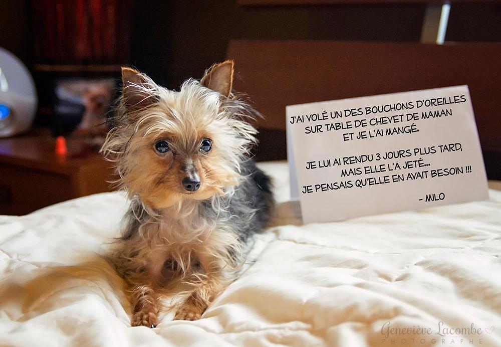 Chiot yorkshire dog shaming