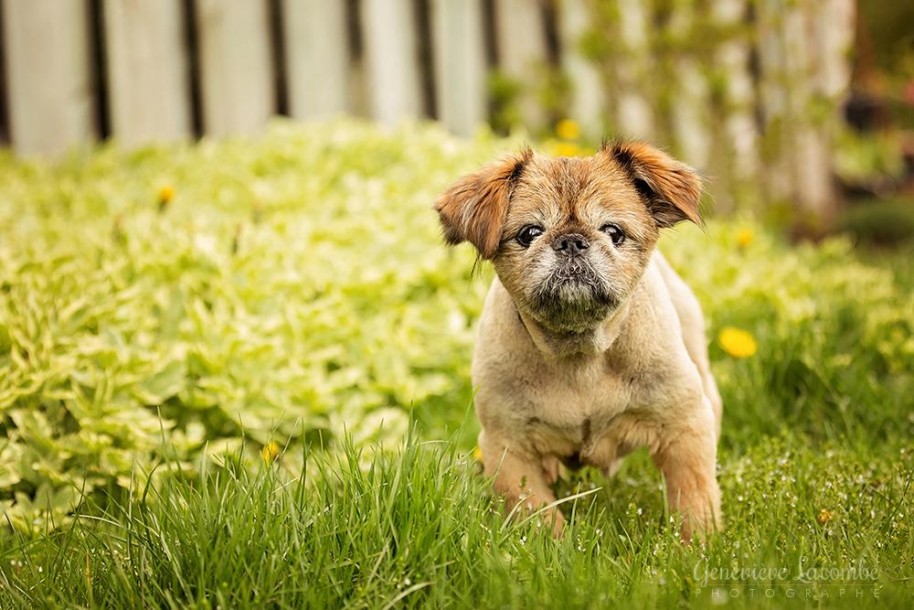 Portrait chien griffon bruxellois âgé