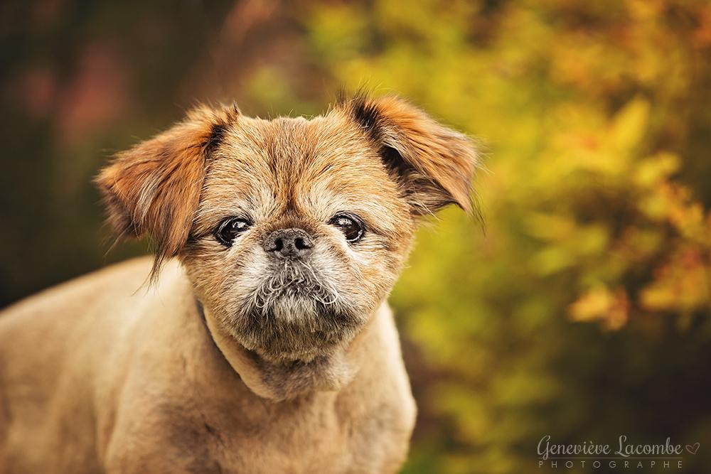 Vieux chien griffon bruxellois