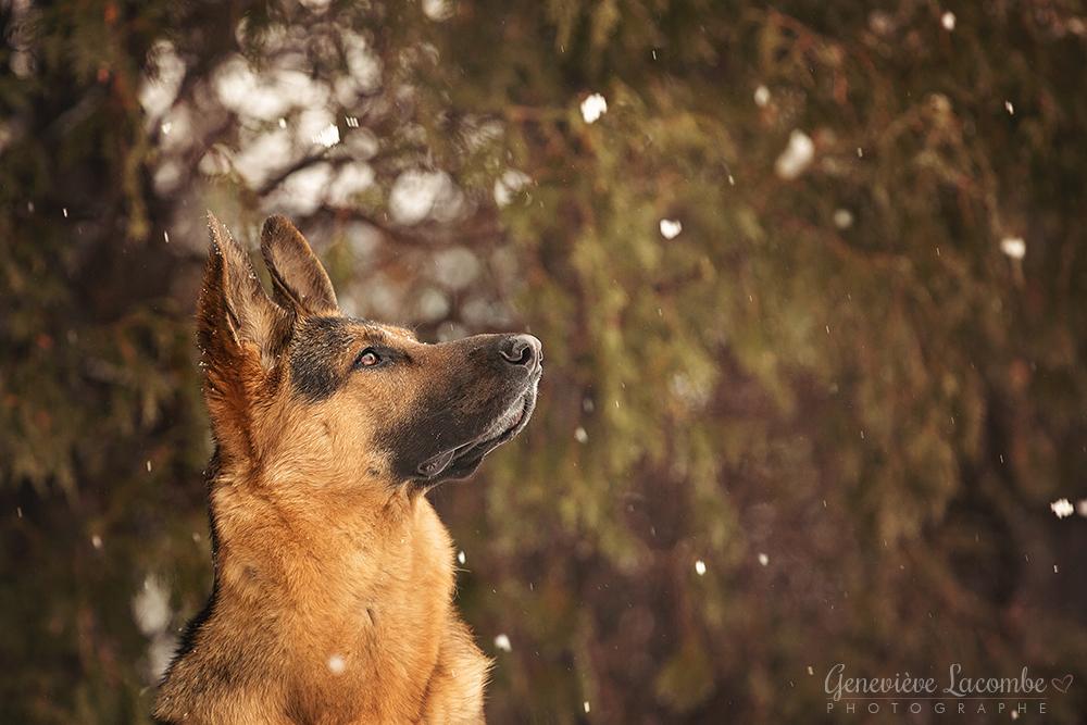 berger allemand flocons de neige