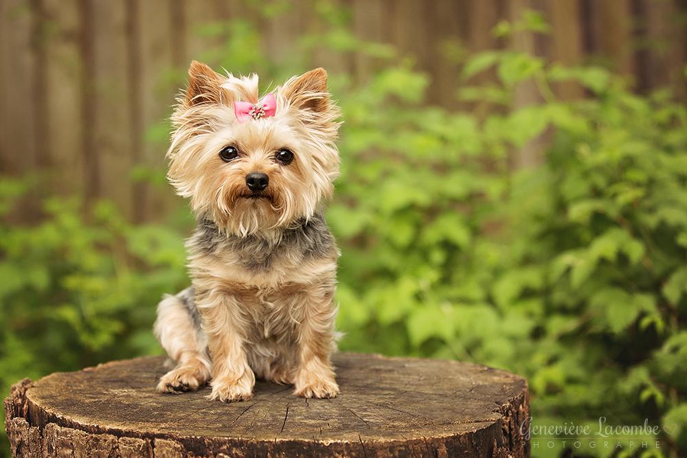 Yorkshire terrier femelle sur une bûche