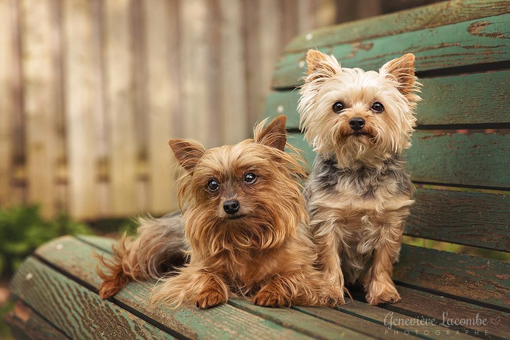 Deux yorkrshire terriers assis sur un banc