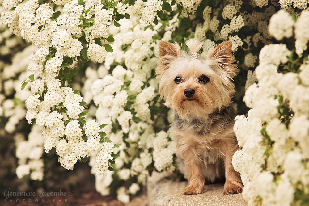 Yorkie femelle spirée fleurs blanches