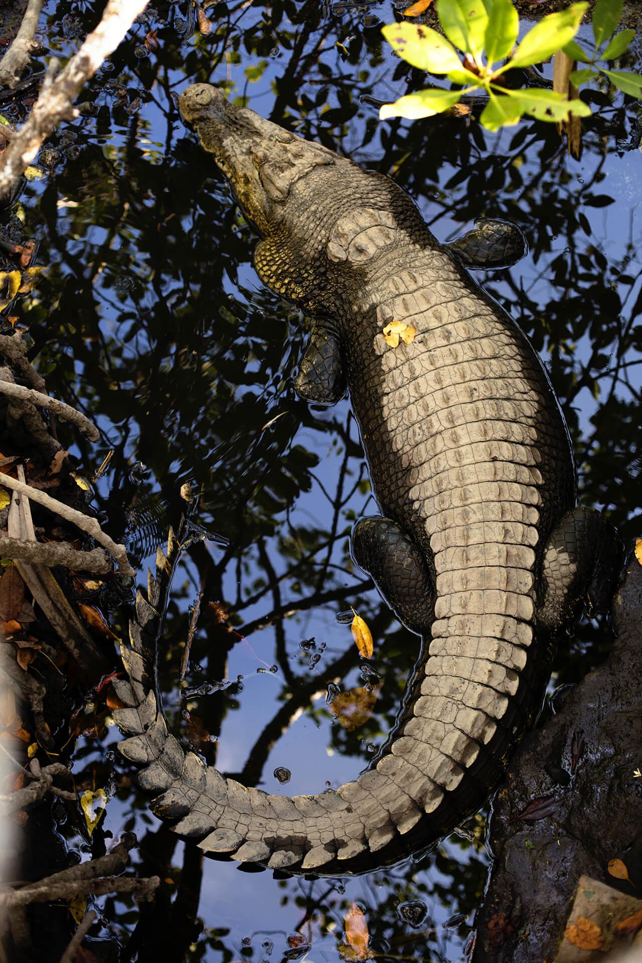 Treasure Island - Crocodiles haunt near the staff houses in the mangroves
