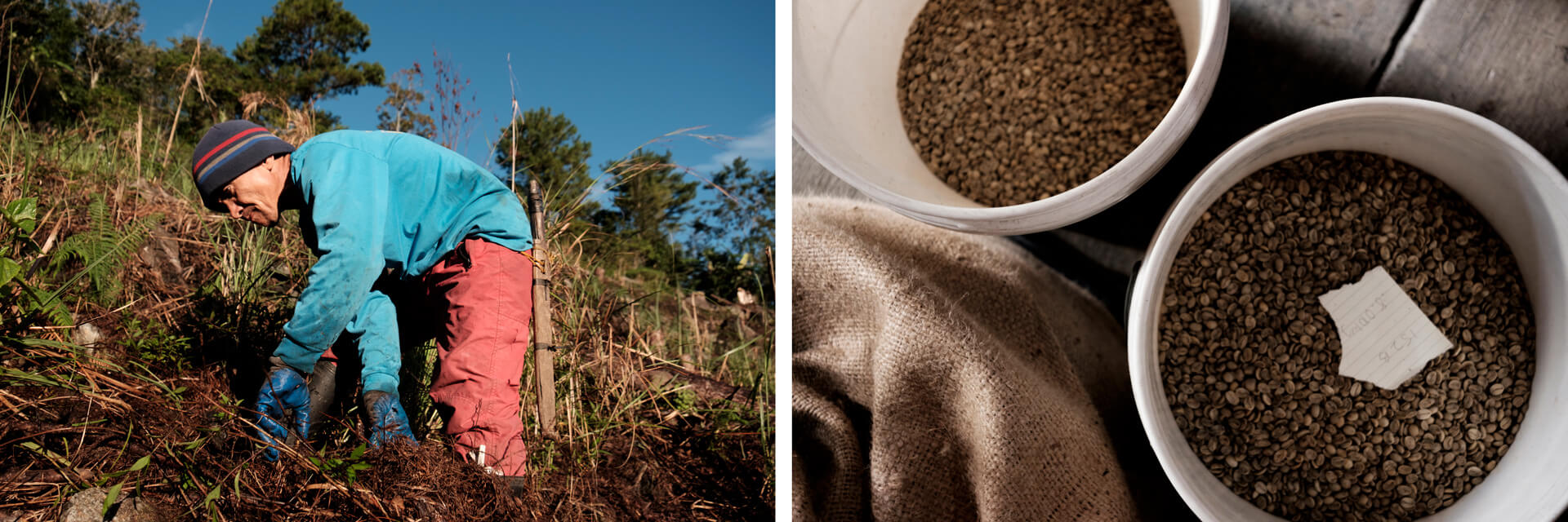 LEFT: Kalsada coffee farmer pulling the soil; RIGHT: 2 pails of freshly roasted coffee beans