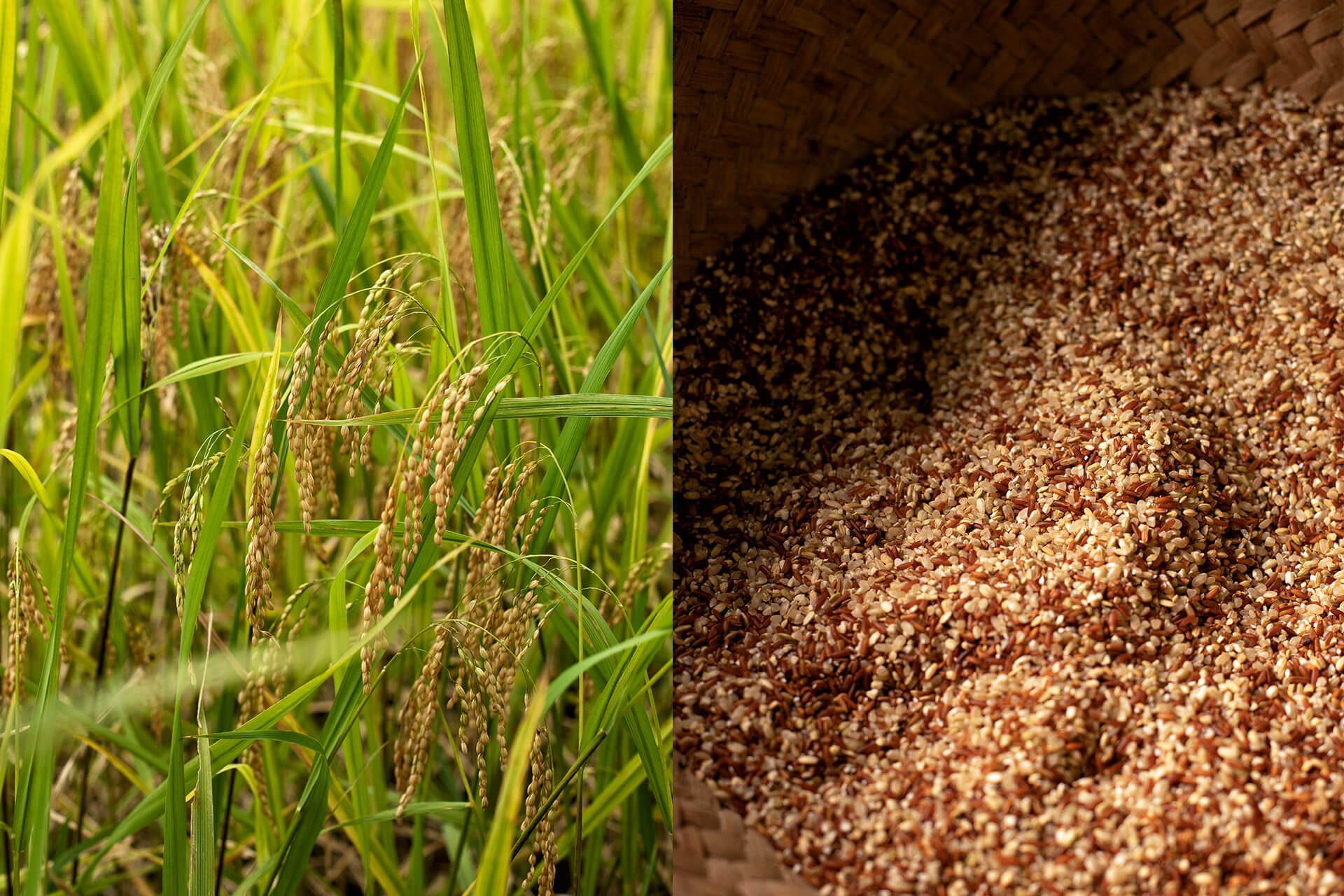 Banaue Heirloom Rice from stalk (left) to grain (right).