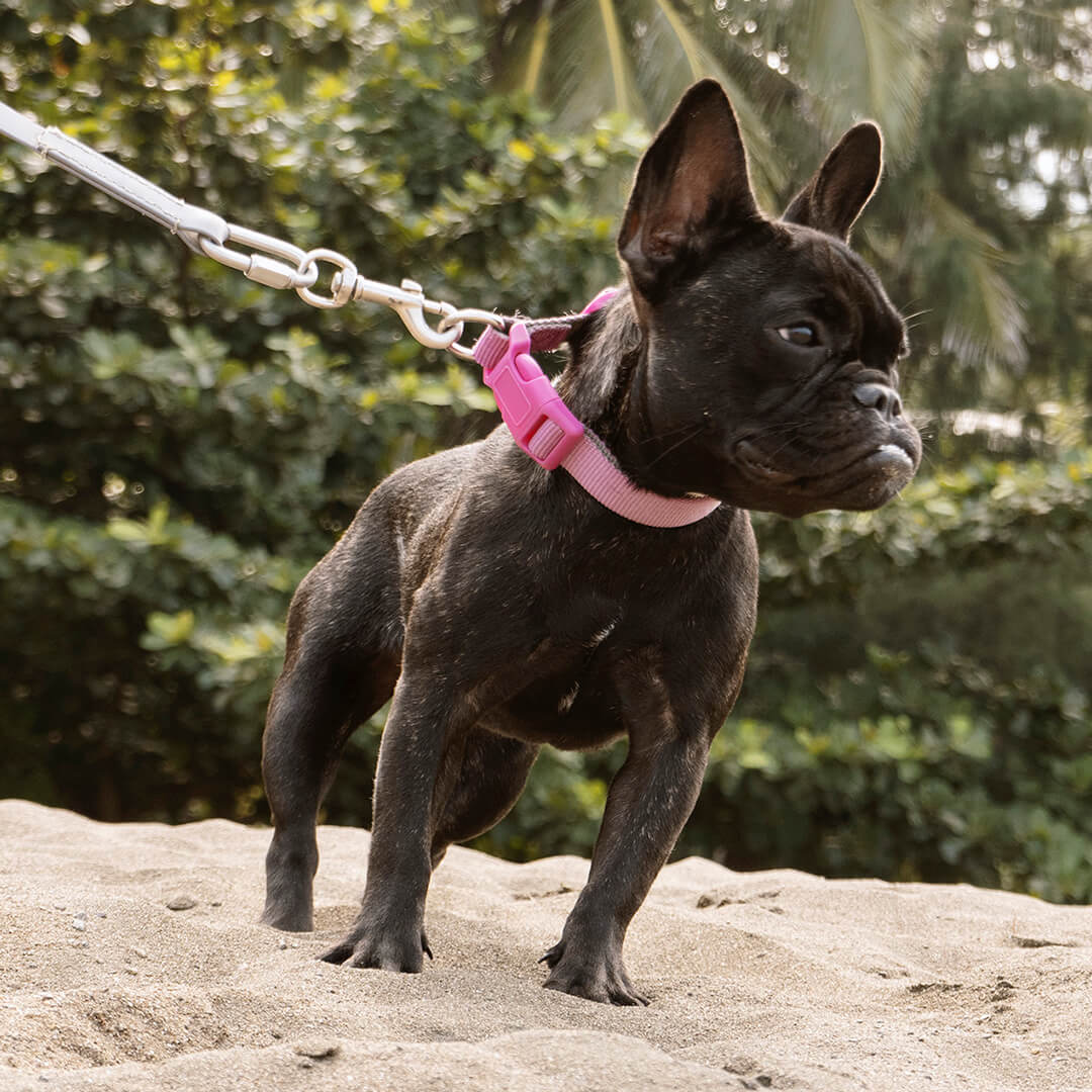A tight close-up of a black French Bulldog looking as sharp as can be.