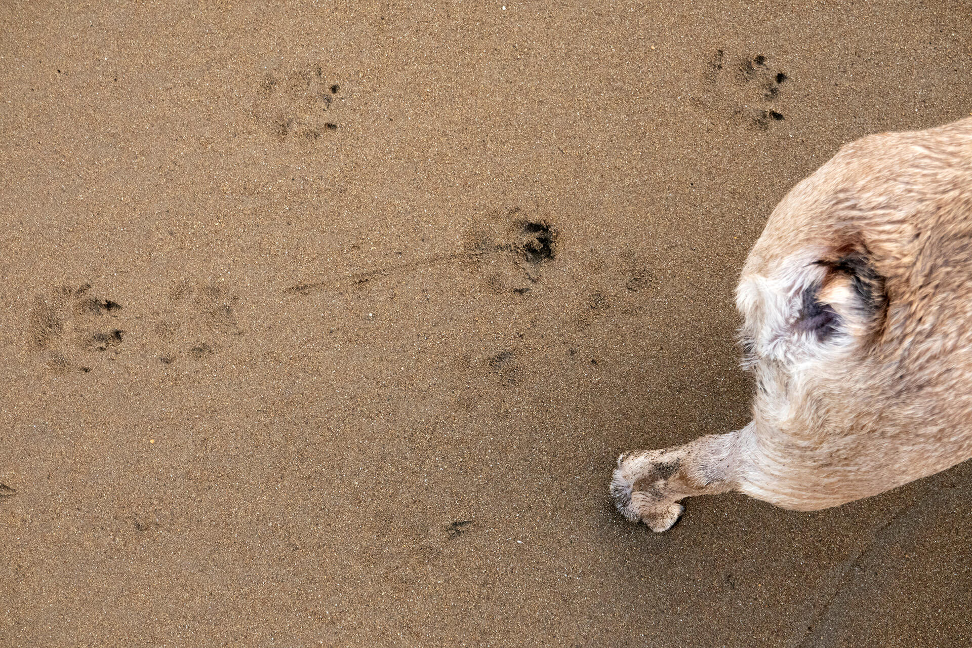Paw prints on the sand looking as sharp as can be.