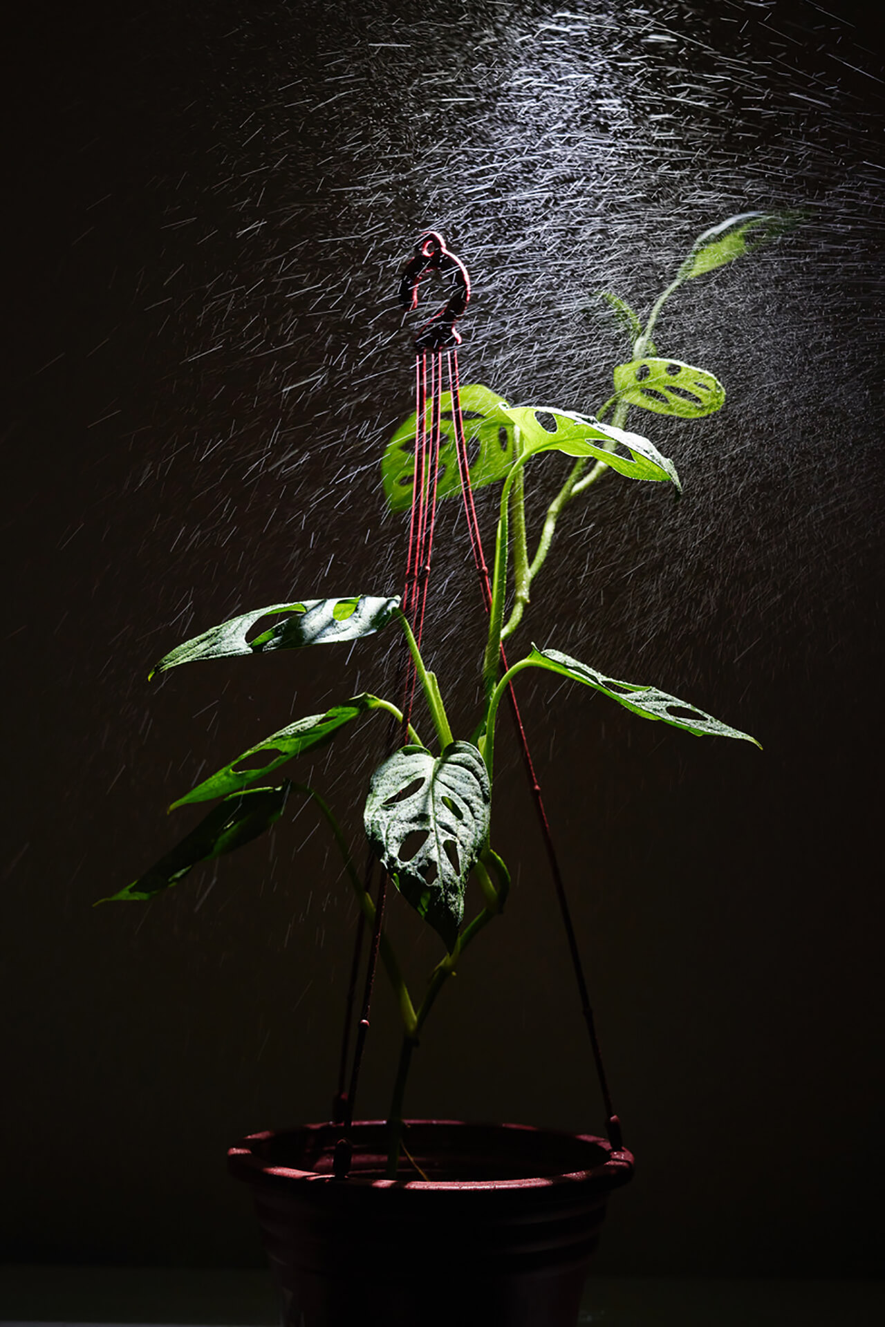 Backlit shot of water sprinkling over a hanging plant with holes in its leaves.