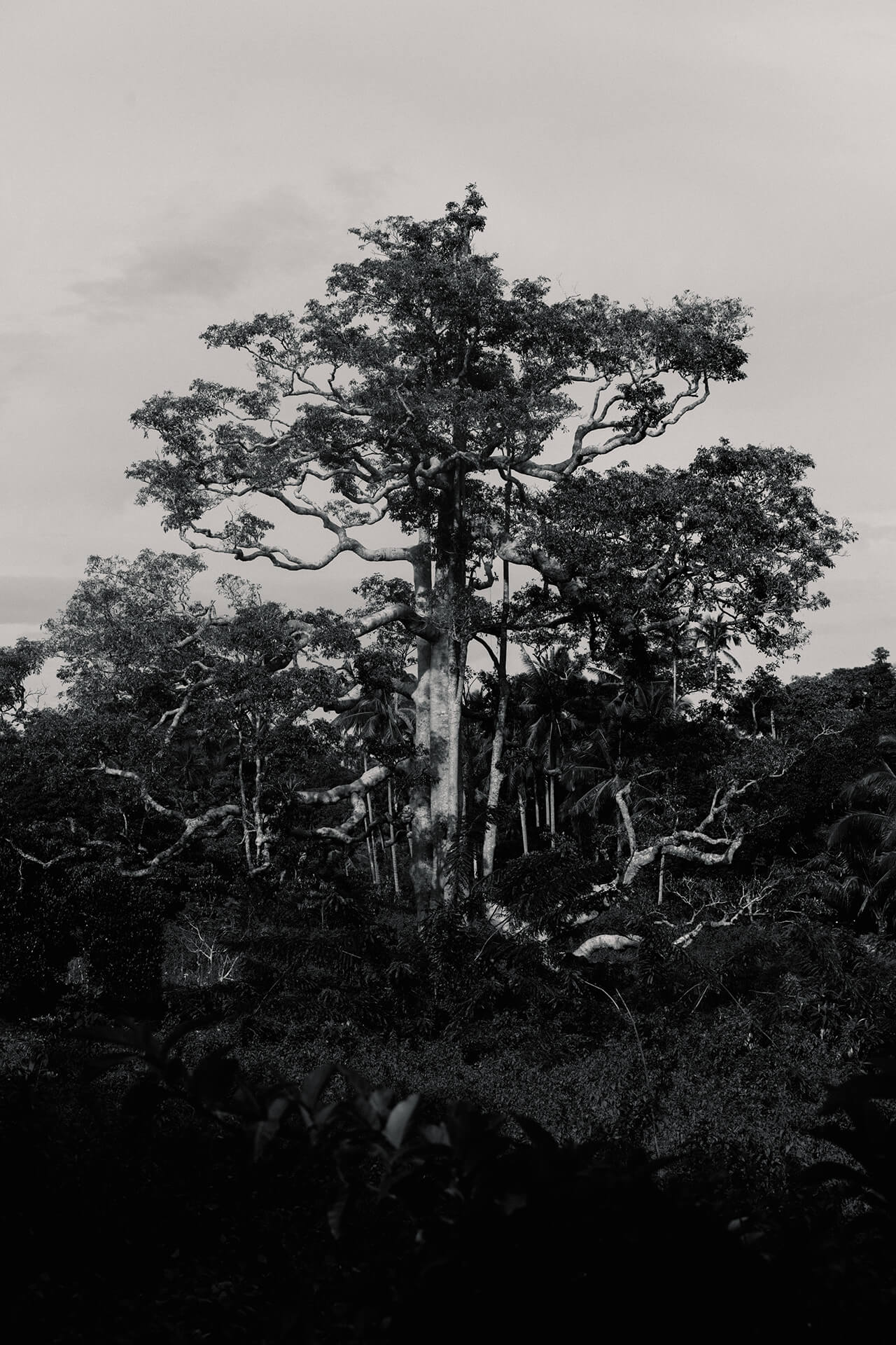A tree towering amidst the dense forrest in mystical Mt. Bandilaan, Siquijor.