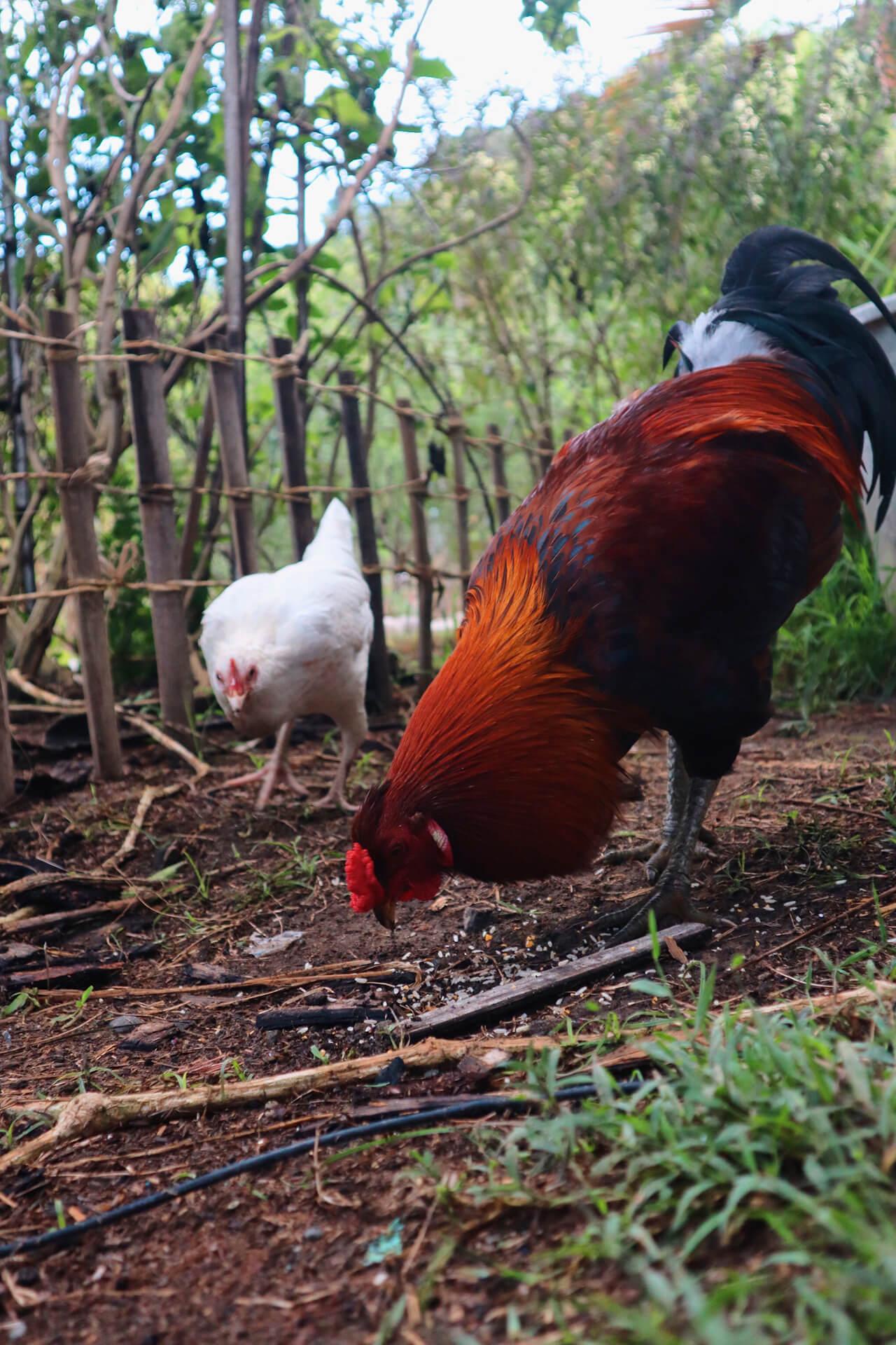 Chickens feeding around the Alpas compound