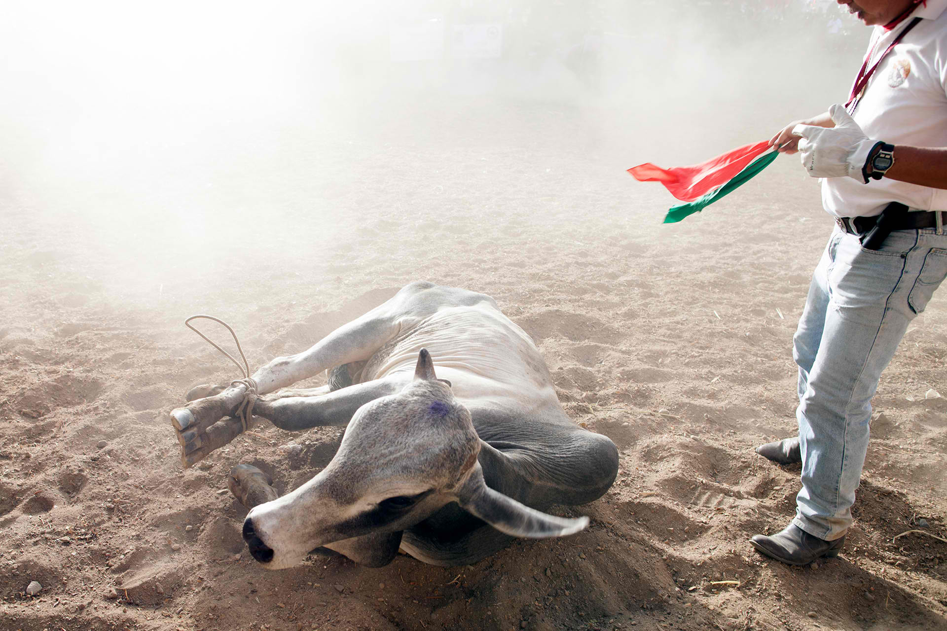 Scene from the Masbate Rodeo as a Filipino cowbo ropes a bull