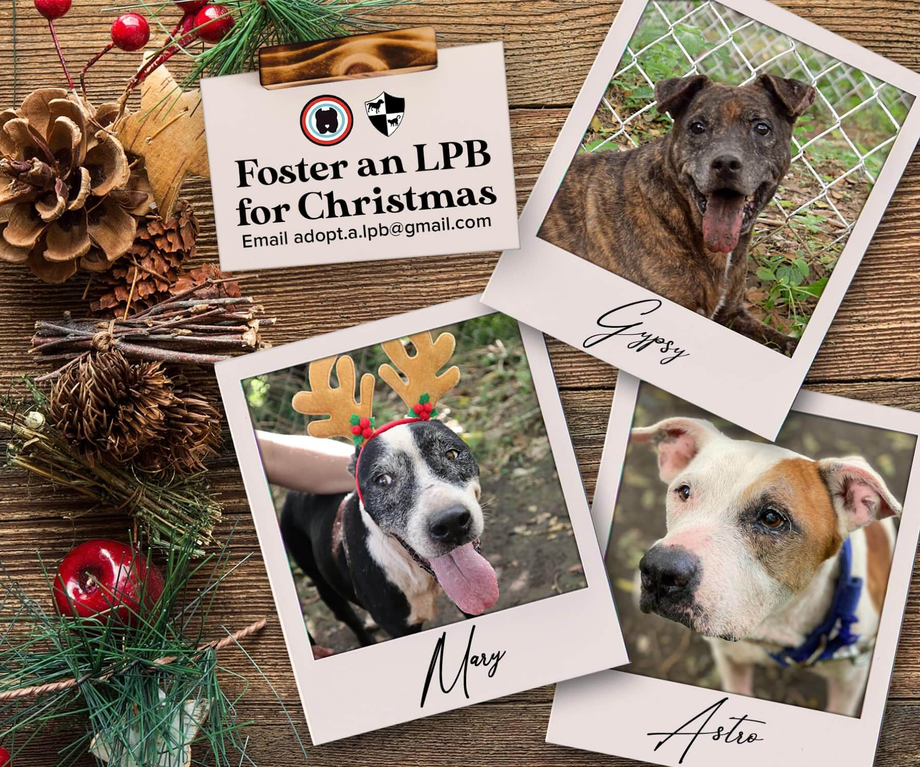 Foster an LPB for Christmas promo. Email: adopt.a.lpb@gmail.com
